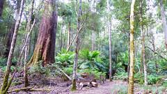 Eucalyptus regnans (grandolebillyboy) Tags: eucalyptus eucalyptusregnans myrtaceae arfp trfp vrfp cooltemperatearf trunk australiasbiggesttrees