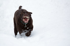 Honest, he's friendly :) (chrisleboe) Tags: toby dog brown snow mouth lab funny labrador teeth running retriever chocolatelab labradorretriever snarl