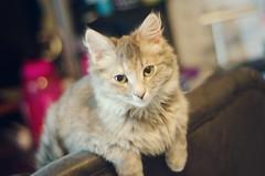 Freyja (Jenn ) Tags: cat kitten tortoiseshell tortie rescuecat freyja formerstray dilutetortoiseshell rescuekitten dilutetortie