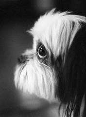 awwdorable (JoeBenjamin) Tags: camera bw dog white black cute film face pen puppy fur blackwhite eyes furry shiny fuji sad baleful shih tzu profile adorable olympus negative f 400 frame half pro aww fujifilm ft neopan doggy woe halfframe legacy begging beg awwdorable