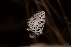 IMG_9610 (Chaitanya Shukla) Tags: india macro butterfly maharashtra in kokan guhagar commonpierrot patpanhale shringartali