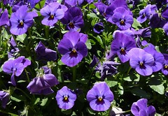 Chicago, Art Institute, Purple Pansies (Mary Warren (6.3+ Million Views)) Tags: flowers blue urban chicago nature garden flora purple blossoms pansy blooms planter artinstitute