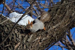 0010 (Igor Falin) Tags: winter wild plants brown color tree eye nature animal animals forest woodland hair fur outdoors rodent paw squirrel sitting natural wildlife tail small fluffy claw whisker backgrounds mammals bushy organism