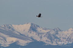 January 23, 2016 - A Bald Eagle flies in front of snow-covered mountains. (Tony's Takes)
