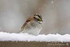 white-throated sparrow (mirrorlessplanet.com) Tags: usa bird nature wildlife maryland sparrow whitethroatedsparrow zonotrichiaalbicollis emberizidae passeriformes mirrorlessplanetcom