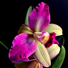 Cattleya sp. (Jess 56) Tags: flowers flores orchid flower fleur fleurs orchids flor blumen orchidaceae fiori  fiore orqudeas bulaklak orchides orchide flors orqudea iek  orkid  orqudia orqudies