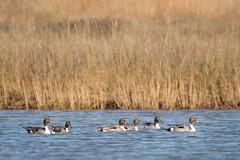 Full Alert (gseloff) Tags: bird duck texas wildlife lamar drake northernpintail kayakphotography stcharlesbay gseloff