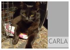 Carla-02 (Ali Crehan) Tags: cat february shelter 2016