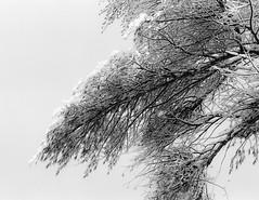 Upwards # 2 (SopheNic (DavidSenaPhoto)) Tags: trees blackandwhite bw snow monochrome iso200 snowstorm 35mmfilm hp5 ilford selfdeveloped id1111 canonelan7e pullprocessed