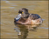 Tufted Duck (Female) (John R Chandler) Tags: uk bird female duck unitedkingdom coventry westmidlands warwickshire aythyafuligula tuftedduck wildfowl brandonmarsh warwickshirewildlifetrust
