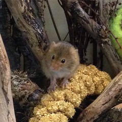 Harvest mouse! (Inkysloth) Tags: life cute museum mouse mammal rodent harvestmouse hornimanmuseum
