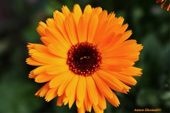 Orange Daisy Flower (Anton Shomali - Thank you for over 1 million views) Tags: flowers summer orange sun plant flower green garden gold backyard warm glow shine outdoor sunny daisy funa coth orangedaisyflower thebestofmimamorsgroups