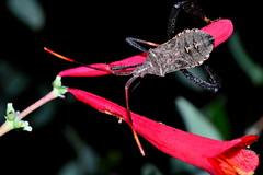 wheel bug (donjuanmon) Tags: red macro wheel closeup bug insect assassin donjuanmon