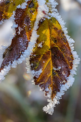 surrounded by frost (michael.taferner) Tags: winter light sun snow cold macro nature up yellow canon eos frozen frost close outdoor crop fixed 28 usm 60mm leafs efs focal lenght 600d apsc