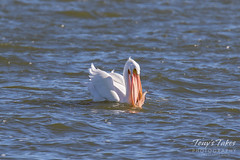 American White Pelican fishing sequence - 12 of 20
