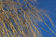 Weeping Willow In Spring (gripspix (OFF)) Tags: nature branches natur opening buds weepingwillow ste twigs zweige knospen trauerweide sichffnend 20160310