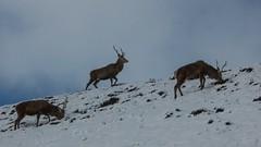 Scottish Stags (mandyerush) Tags: mandy red snow ross scottish deer stags wester achnascheen mandyerush