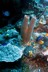 Sponge Tube Coral (loose-ends) Tags: coral soft tube dive roatan reef sponge bearsden
