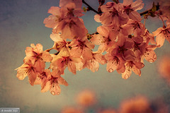Our prunus after the rain (Anneke Jager) Tags: plant flores tree texture vintage spring blossom outdoor fineart bloemen textured prunus textuur annekejager