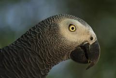 the look (Gdemiceu) Tags: wild naturaleza nature look birds animals fauna wildlife ngc aves loro 100faves 50faves vidasalvaje africanparrot world100f canon7d