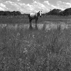 l'autrecheval (lamachineaveugle) Tags: naturaleza nature animal caballo cheval crossprocess bete hasselblad500cm