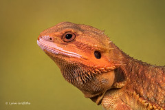 Bearded Dragon D75_2800.jpg (Mobile Lynn) Tags: england nature fauna unitedkingdom wildlife ngc npc captive bournemouth beardeddragon pogona reptiles watermarked coth greatphotographers specanimal coth5 sunrays5