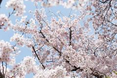 The bloomed (Wunkai) Tags: japan  cherryblossom sakura    ibarakiken kashimashrine mitoshi