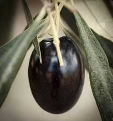 ACEITUNA120416 (Lisa Claros) Tags: olivo aceituna fruto