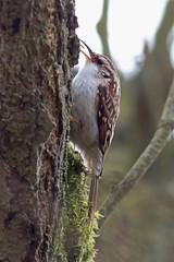 Treecreeper, Cod Beck Reservoir (JR Studio) Tags: tree bird beck yorkshire cleveland north reservoir cod resident treecreeper swainby northallerton