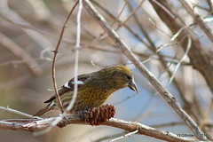 White Wing Crossbill (F) (YEGBirder) Tags: edmonton sprucecone whitewingcrossbill