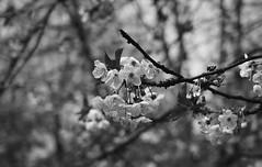 Hanami Parc de sceaux (Chisai hana) Tags: de cherry spring april avril parc printemps tress hanami sceaux 2016 cersiers