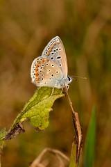 Polyommatus (Polyommatus) icarus (Rottemburg, 1775). Macho (Jess Tizn Taracido) Tags: lepidoptera polyommatusicarus lycaenidae papilionoidea polyommatinae polyommatini