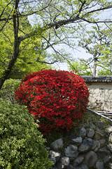 Shinryoku  (PV9007 Photography) Tags: new green japan spring kyoto mt  april  kansai frhling yoshida   sakyoku  2016 tsutsuji  ahorn  yoshidasan shinryoku
