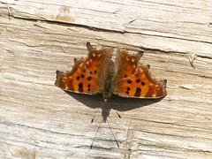 C-Falter [ Comma ] [ Vinbrsfuks ] ( Nymphalis c-album ) (ritschif) Tags: butterfly outdoor makro comma nymphaliscalbum cfalter tagfalter vinbrsfuks dagfjrilar