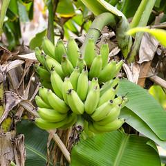 Banana Growing (rschnaible) Tags: food usa tree botanical hawaii us tour pacific outdoor farm farming sightseeing maui banana tourist tropical production tropic touring