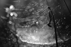untitled (brescia, italy) (bloodybee) Tags: bw nature water drops bokeh web spiderweb cobweb dew 365project