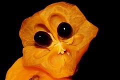 Toechima pterocarpum (andreas lambrianides) Tags: tamarind australianflora australiannativeplants sapindaceae arfp australianrainforests australianrainforestplants orangetamarind bushytamarind qrfp arffs australianrainforestfruits toechimapterocarpum australianrainforestseeds yellowarffs orangearffs tropicalarf australianrainforestfruitsandseeds