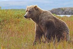 Katmai Brown Bear {In Explore 4/26/16} (tomblandford) Tags: wildlife brownbear grizzlybear wildbear alaskanbrownbear katmainationalpark alaskanwildlife wildlifeofthewest coastalbrownbear katmaibear dailynaturetnc13 dailynaturetnc14 katmaiwildlife tnclivenature