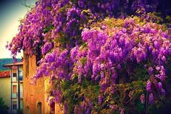 glicine colli2 (sofia.0712) Tags: flowers sun detail love nature beautiful canon wonderful spring happiness passion fiori wisteria photograpy glicine