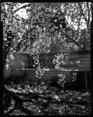 Weeping (Tim L Lowe) Tags: backyard 4x5 elgin cherrytree ilforddelta100 rodinal125 wista45n