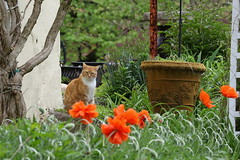 """""""Where have you been?"""" (judecat (getting back to nature)) Tags: simon cat poppies redtabby catingarden cathillfarm"""