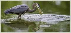 great blue heron (Christian Hunold) Tags: bird philadelphia heron sunfish greatblueheron predation johnheinznwr wadingbird christianhunold