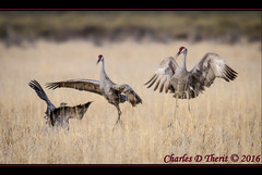 Sandhill Cranes (ctofcsco) Tags: red usa black nature birds canon landscape geotagged photo spring colorado unitedstates image wildlife gray picture cranes explore sanluisvalley telephoto photograph 7d northamerica migration teleconverter 56 sandhillcrane extender nationalwildliferefuge alamosa 800mm montevista 2016 2015 supertelephoto 11250 explored montevistanwr extender2x cranedance sandhillcranefestival ef400mm zinzer eos7d extender2xii ef400mmf28liiusm ef400mmf28liiusm20x 7dmark1 7dclassic 7dmarki geo:lat=3745997671 geo:lon=10614014486 wwwmvcranefestorg