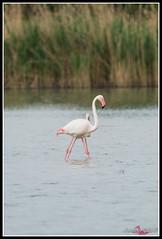 DSC_7606 (torben84) Tags: lake bird birds lago nikon rosa uccelli firenze tamron phoenicopterusroseus avifauna laje aereoporto fenicotteri phoenicopterus roseus fenicottero migrazione peretola 150600 d7200