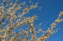 Flowers of spring (ChemiQ81) Tags: flower spring poland polska polish polen polonia kwiaty jaro pologne wiosna kwiat 2016  polsko  puola plland lenkija pollando wiosenny   poola poljska polija pholainn     chemiq polanya lengyelorszgban