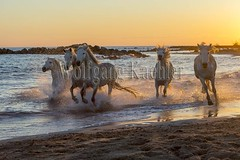 40081154 (wolfgangkaehler) Tags: sunset horse white france beach water french europe mediterranean european running backlit splash herd mediterraneansea backlighting eveninglight camargue southernfrance splashing galloping 2016 whitehorses camarguehorses