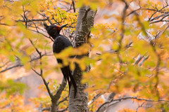 Magellanic woodpecker (Fabio Rage) Tags: argentina de woodpecker el pica pau chaltn magellanic magalhes campephilus magellanicus