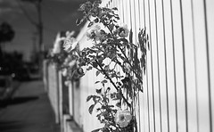 Roses through the Fence (eddieddieddie) Tags: newzealand roses bw 35mm wellington r2filter homeprocessed caffenolc 135format agfa80s