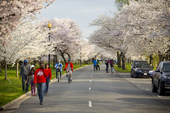 2016 03 26 - 1020 - DC - Cherry Blossoms (thisisbossi) Tags: flowers trees usa streets southwest bicycling washingtondc dc unitedstates pedestrians sakura sw cherryblossoms roads bicyclists floweringtrees hainspoint sharedspace