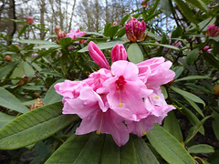 Rhododenron Pink (Mabacam) Tags: park pink nature garden outdoors surrey rhododendron shrub parkland virginiawater 2016 greatwindsorpark virginiawaterlakes